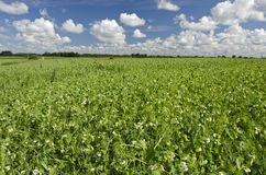 Pea summer field in farm. Pea summer field agriculture landscape in farm Royalty Free Stock Photo
