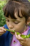 Pea supper. The girl eats peas from a pod Stock Photo
