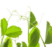 Pea tendrils Royalty Free Stock Images