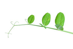 Pea vine Royalty Free Stock Images