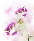 Pea Watercolor dolce Fotografia Stock