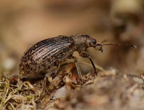 Pea weevil macro on undergrowth Royalty Free Stock Image