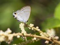 Peablue蝴蝶 库存图片