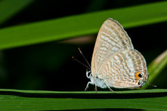 Peablue butterfly on  grass Stock Photos