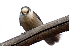 Peace. Gray jay perched above on a limb Royalty Free Stock Photo