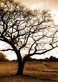 Peace. Sepia coloured photograph of sheep grazing beside oak tree at Aghadoe, Co.Kerry, Ireland Royalty Free Stock Photo