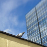 Peace dove next to skyscraper Royalty Free Stock Images