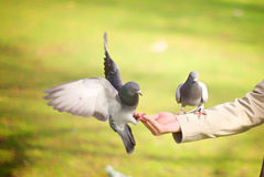 Peace Doves flying on hand Stock Photos