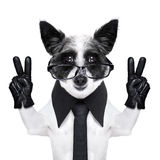 Peace fingers dog. With black gloves and glasses royalty free stock images