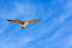 Freedom, peace, seagull, sky Stock Images