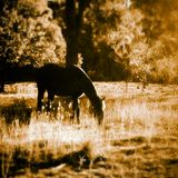 Peace Horse Royalty Free Stock Photos