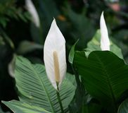 Peace lilies Spathiphyllum Royalty Free Stock Image