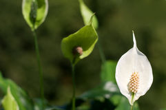 Peace lily Royalty Free Stock Image