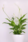 Peace lily Stock Photos