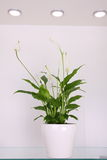 Peace lily Royalty Free Stock Photo