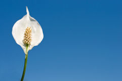 Peace lily on blue sky