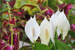 Peace lily Stock Images
