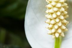 Peace lily Royalty Free Stock Photography
