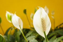 Peace lily flower on yellow background Royalty Free Stock Image
