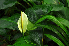 Peace lily. Fresh white peace lily with a green background stock photo