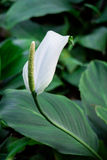 Peace Lily Stock Photo