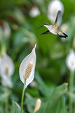 Peace Lily Plant with Hummingbird Royalty Free Stock Images