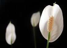 Peace Lily, Spathiphyllum on black background stock images