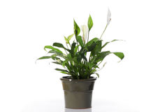 Peace Lily Royalty Free Stock Photos
