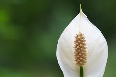 Peace lily Spathiphyllum flower Stock Image