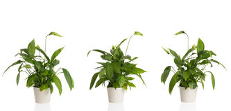 Peace Lily From Three Angles Stock Image