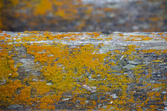 Peace of old wood covered with yellow moss Stock Images