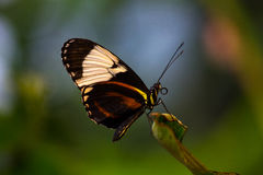 Peace Piece. Tropical butterfly dido longwing on the green leaf. Macro photography of wildlife Royalty Free Stock Image
