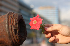 Peace, please. A person is offering a flower to a cannon Stock Photos