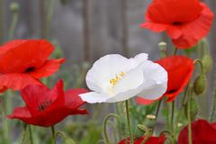 White Peace Poppy in Crimson Field 01 stock images