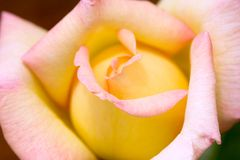 Peace Rose Stock Photography