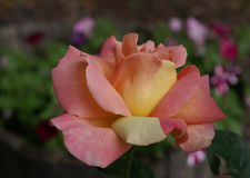 Peace rose. Peach and or and peace rose royalty free stock images