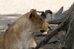 Peace Time. African Lioness lying quietly in the shade among the dead tree trunks Stock Images