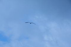 Peace and tranquility. Seagull flying in solitary with blue sky background Royalty Free Stock Image