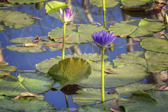 Peace`. Water Lilies at the Douglas Hot Springs  in  the  Northern  Territory Royalty Free Stock Photo