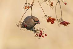 Peacebird äter bär Arkivfoto