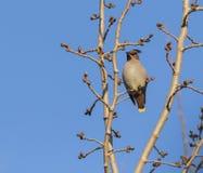 Peacebird Στοκ Φωτογραφία