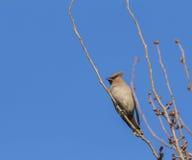 Peacebird Στοκ φωτογραφία με δικαίωμα ελεύθερης χρήσης