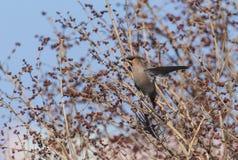 Peacebird Στοκ Εικόνα
