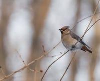 Peacebird Στοκ εικόνα με δικαίωμα ελεύθερης χρήσης