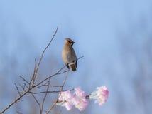 Peacebird Στοκ φωτογραφίες με δικαίωμα ελεύθερης χρήσης