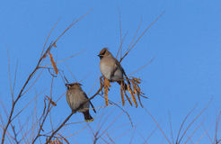 Peacebird Στοκ εικόνες με δικαίωμα ελεύθερης χρήσης