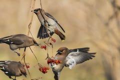 Peacebird Στοκ Εικόνες