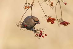 Peacebird eat berries Stock Photo