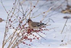 Peacebird podczas zima miesięcy Fotografia Stock