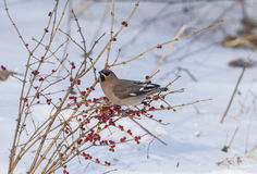 Peacebird during the winter months Stock Photography